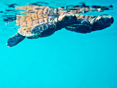 tortue marine dans l'atoll d'Addu