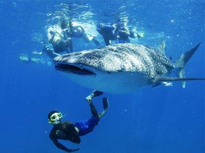 Nager avec les requins baleines pendant votre voyage aux Maldives