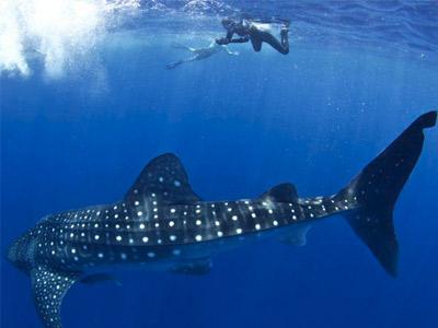 Nage avec les requins baleines