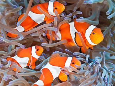 poissons clown