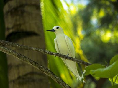 Oiseau à Frégate Island