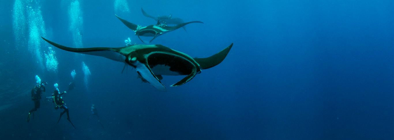 Plongée avec les raies manta à Malé Nord