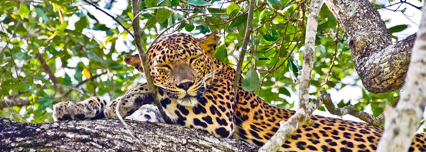 Léopard du parc national de Yala au Sri Lanka