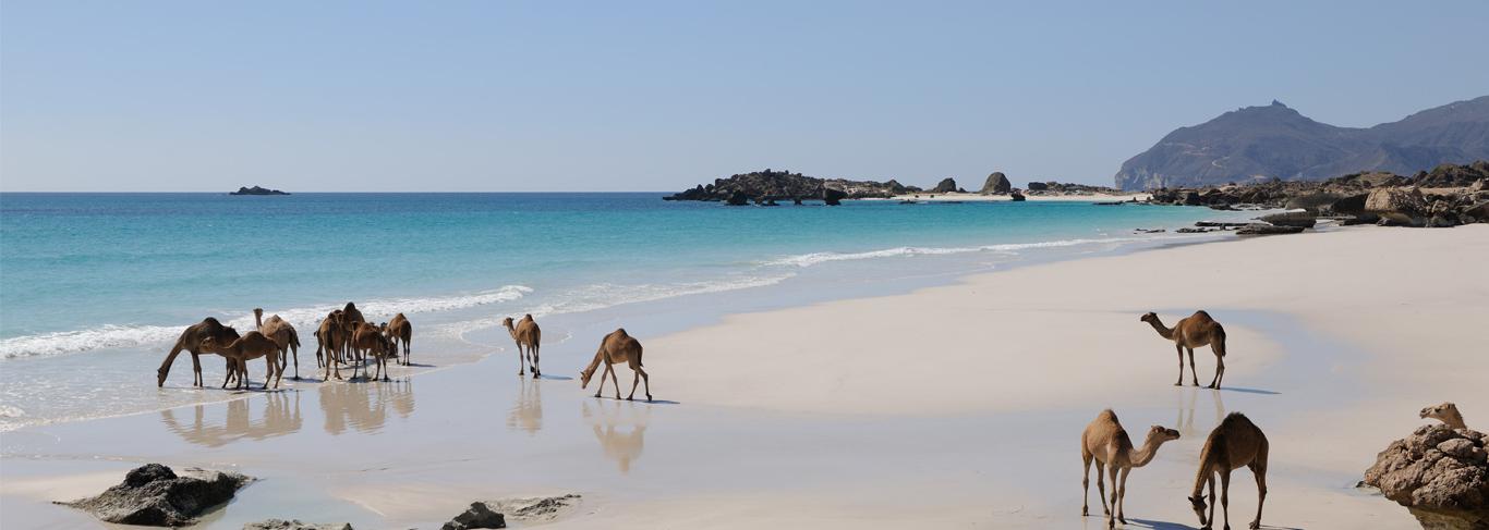 Camels - Ot Oman