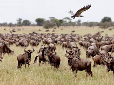 Les grandes migrations du Serengeti