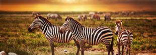 Voyage en Tanzanie : zèbres sauvages