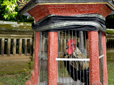 Coq au temple Taman Ayung | Bali