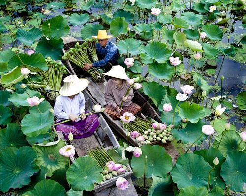 Fleurs de Lotus dans la province de Nakhon pathom |