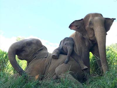 Une famille éléphant | Elephant Nature Park