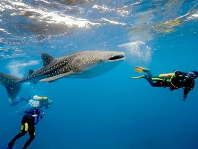 Plonger avec les requins baleines |