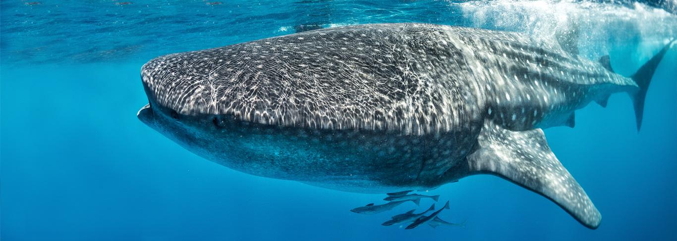Requin baleine aux Maldives