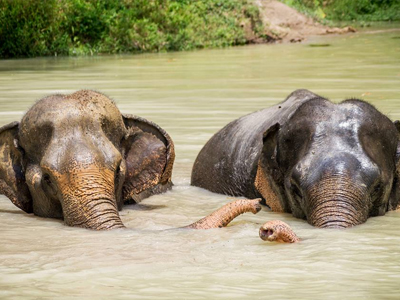 Les éléphants heureux dans l'eau | Phuket Elephant Sanctuary