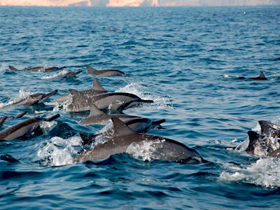 Dauphins à Oman