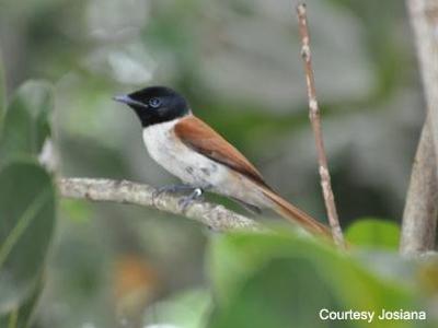 oiseaux seychelles - nautil