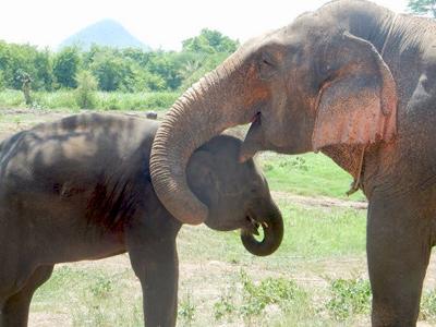 Soigner les éléphants à Elephants World