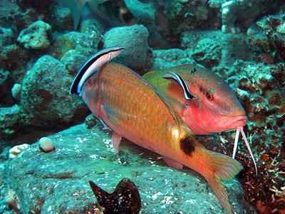 Anse Cochon Reef (prilfish / Flickr)