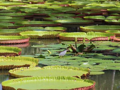 Jardin Pamplemousse - Nautil