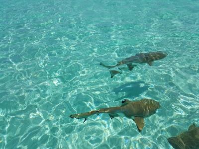 requins-lagon-bleu-tahiti