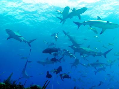 Récif des requins (Greg Grimes / Wikimedia Commons)