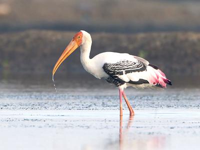 Réserve ornithologique de Prek Toal (JJ Harrison / Wikimedia Commons)