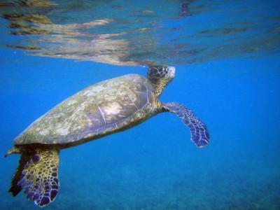Sea-Turtle-Care-Center-wikipedia