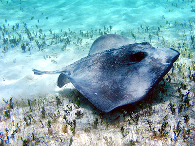 Toopua (NOAA CCMA Biogeography Team / Wikimedia Commons)